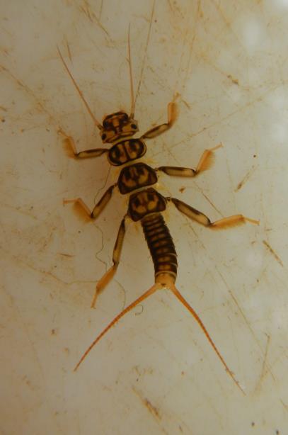 Perla Bipunctata - pollution sensitive stonefly Photo: Ruth Little